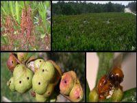 Autorizada libertação de inseto para controlo de uma das piores plantas. 22693.jpeg