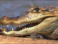 Homem que tentava contrabandear crocodilo e cobras foi preso