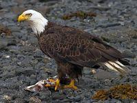 Pouso forçado da águia?. 21730.jpeg