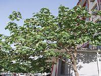 Verdes Preocupados com Plantação de Espécie Exótica na Floresta Questionam o Governo. 28751.jpeg