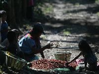Trabalho infantil na Guatemala abastece cafés de grandes empresas. 32771.jpeg