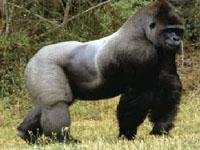 Gorilas, orangotangos e corais se aproximaram da extinção