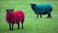Madonna pintou suas ovelhas para ensaio (foto)