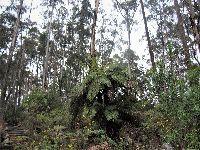 Eucaliptos provocam dramática redução da biodiversidade do território, revela estudo internacional. 27802.jpeg