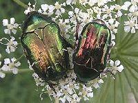 Vouzela - Praga de escaravelhos. 24805.jpeg