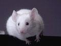 Estudante morreu por picada de um rato