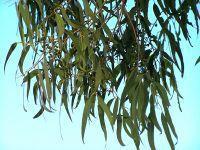 PEV questiona Governo sobre a plantação de eucaliptos. 24821.jpeg