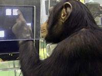 Humanos perdem contra chimpanzés em testes de memória