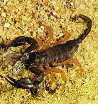 Escorpiões passam a viver nas cidades brasileiras