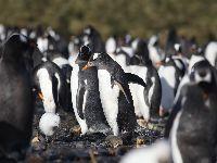 Microplásticos encontrados pela primeira vez em pinguins na Antártida. 31840.jpeg
