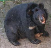 Urso entra em lanchonete no Canadá