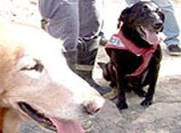Labradoras Anie e Dara  participaram nas buscas por sobreviventes  na estação Pinheiros