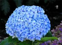 Flores de hortênsias foram a causa de morte de crianças em  CE