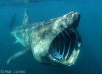 Pescadores portugueses capturaram um tubarão de sete metros