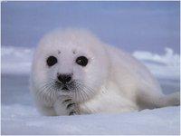 Ministério dos Recursos Naturais da Rússia pretende proibir completamente caça de focas