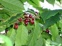 Conilon: café para o mundo
