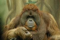 Orangotango  de Portugal vai para o Brasil