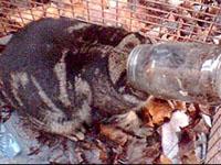 Rato entalou gato num pote de geleia( foto)