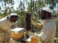 Equipa da Universidade de Coimbra integra grupo europeu para estudar os fatores de stress em abelhas melíferas. 34941.jpeg
