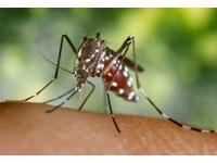 Amostras com larvas vivas do mosquito transmissor da dengue encontradas em vasos e pratos