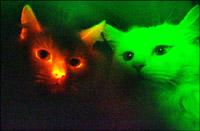 Apresentados  gatos clonados que  brilhem no escuro  (foto)