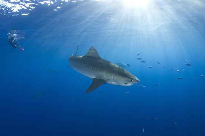Cara a cara com tubarão