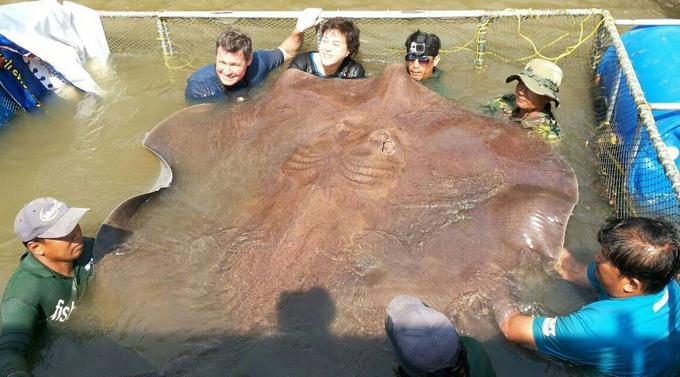 Recordistas da captura de peixe Cientistas integrantes de uma equipe de TV encontraram a maior arraia de água doce do mundo já vista, na Tailândia na última semana. Com 4,3 metros de comprimento e dois de largura, o animal pesa 360 quilos. O apresentador Jeff Corwin compartilhou um vídeo mostrando o  recorde mundial  da captura do animal. FotosFotodom.ru/Rex Features