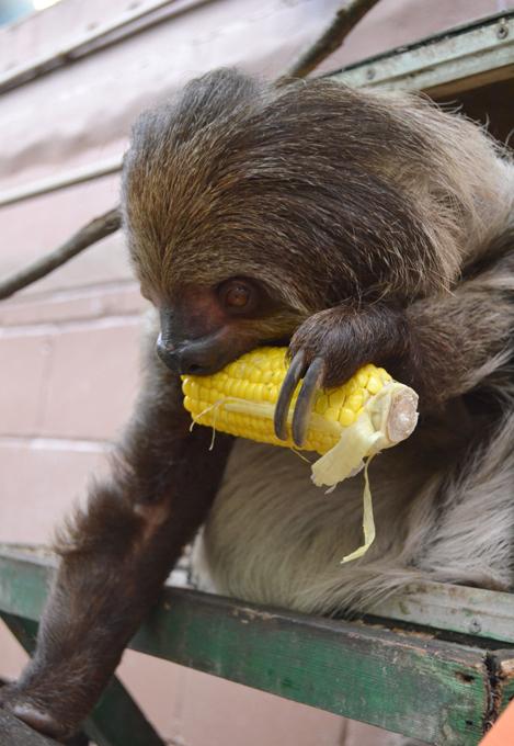 Animais à beira  de extinção Preguiça-de-coleira. Brasil. Foto& Fotodom.ru/Rex Features