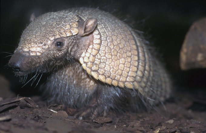 Animais à beira  de extinção Tatu-Canastra. Brasil.FotoFotodom.ru/Rex Features
