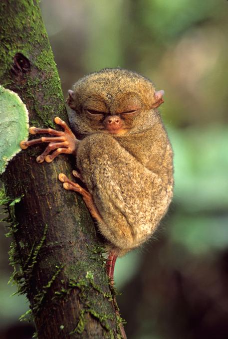 Animais à beira  de extinção Tarsier Ocidental, Sumatra, Indonésia. FotoFotodom.ru/Rex Features