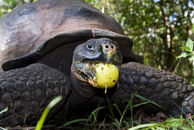 Animais à beira  de extinção Galápagos tartaruga Pinta, as Ilhas Galápagos, Equador. FotoFotodom.ru/Rex Features