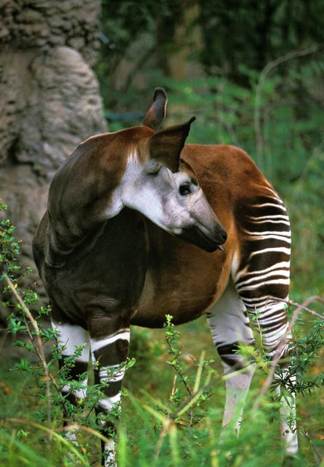 Animais à beira  de extinção Okapi, África. FotoFotodom.ru/Rex Features