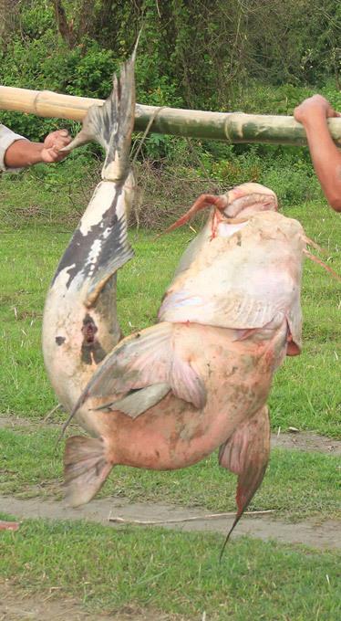 Monstro capturado num rio na Índia Moradores de Saro Gaon exibiram  um enorme Sheatfish de mais de 100 kg de peso capturado no rio Brahmaputra em Bokakhat, em Assam,  dia 06 de outubro de 2013, na Índia. Todas as fotos Splash/All Over Press
