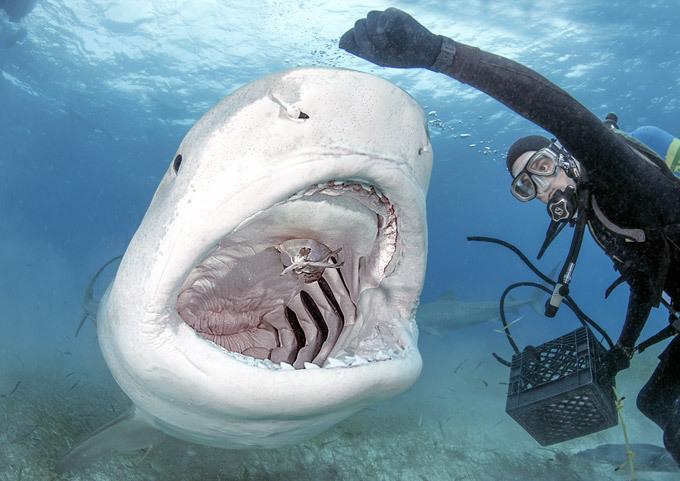 Tubarão-tigre a posar Tubarões-tigre são reconhecidos pela sua natureza agressiva e incríveis habilidades predatórias. Mas às vezes gostam de posar. Fotos Splash/All Over.