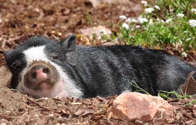Porco que gosta de se fingir de cachorro Virginia, é uma porquinha que tem certeza absoluta de que é um cachorro. Ela vive em uma casa no estado do Colorado, Estados Unidos, na companhia de seus donos e de dois cachorros da raça boxer. A suína aprendeu a usar a portinhola de cachorros antes de seus amigos caninos, sabe usar o local correto para fazer suas necessidades e adora um carinho. Fotos Splash/All Over