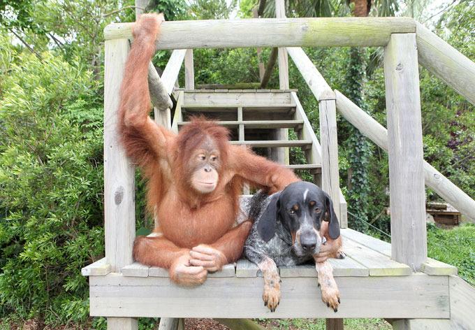 Verdadeira amizade entre orangotango e cão Depois de perder os pais, orangotango de três anos de idade estava tão deprimido que se recusava a comer e não respondia muito bem aos tratamentos e remédios.Os veterinários achavam que ele iria se entregar à morte. Fotos Splash/All Over
