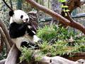 Um pouco de pornografia  ajudou  panda
