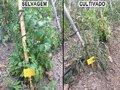 As plantas de tomate selvagem defendem-se melhor das pragas