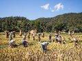 Seca afeta colheita de arroz na Tailândia, segundo vendedor mundial