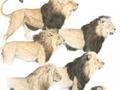 Solução para mistério da juba dos leões