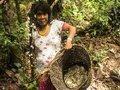 Yanomami coletam e comercializam mais de 8 toneladas de cogumelos