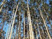 Coruche – Santarém O PEV Questiona Nova Plantação de Eucaliptos