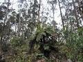 Eucaliptos provocam dramática redução da biodiversidade do território, revela estudo internacional