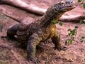 Dragoas de Komodo é uma espécie de  Imaculada Conceição , declararam cientistas