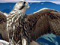 Dragão em voo, águia em pane