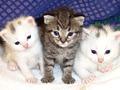 Tem alergia aos gatos? Já pode comprar um gatinho anti-alérgico