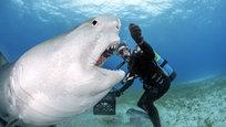 Tubarões-tigre são reconhecidos pela sua natureza agressiva e incríveis habilidades predatórias. Mas às vezes gostam de posar. Fotos Splash/All Over.