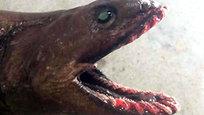 Uma criatura pré-histórica com  rosto de uma enguia e  corpo de um tubarão chocou pescadores do Sudeste Victoria em Austrália. David Guillot estava pescando nas águas  de Lakes Entrance em Gippsland, quando  capturou o tubarão-cobra. O tubarão tem um rosto e corpo semelhante a uma enguia, mas uma cauda que é uma reminiscência de um tubarão. Sua boca tem 300 dentes em forma de agulha  de mais de 25 linhas, destinados para prender vítimas de corpo mole, incluindo lulas e polvo. Fotos Splash/All Over.