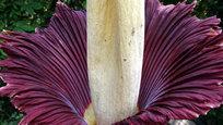 A planta conhecida como flor-cadáver de Sumatra tem uma espécie de  espiga  central de onde surgem várias flores bem pequenas. Este exemplar encontra-se exposta no Museu de Ciências Naturais de Houston, nos Estados Unidos e mede 1,8 m de altura. Ela recebeu várias visitas enquanto florescia e cheirava carne em decomposição. Fotos: Fotodom.ru/Rex Features.